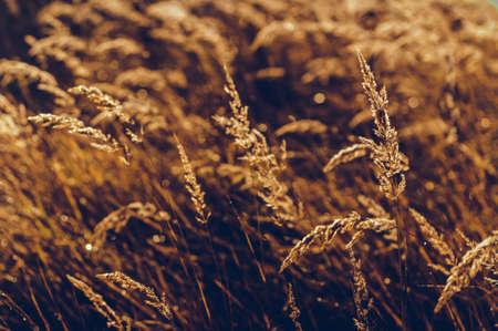 Lo sfondo dell'erba gialla autunnale Archivio Fotografico