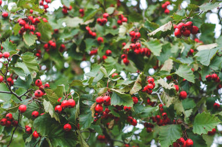 Fresh hawthorn berries on the tree