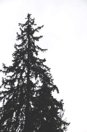 Dark spruce on white background Stock Photo