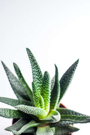 The aloe leaves on a light background
