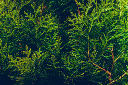 Branches of coniferous plants. Concept of nursery or landscaping