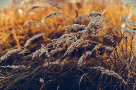 The background of yellow autumn grass