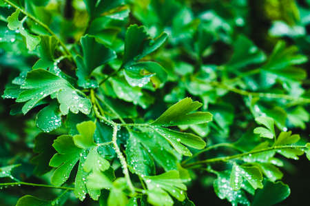 Water drops close up on green leaves of a Ginkgo tree 版權商用圖片