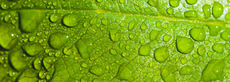 Water drops close up on green leaves of a tree. Macro photo 스톡 콘텐츠