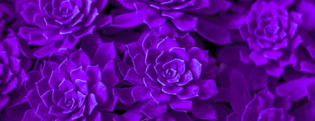 Background of succulent. Photo processing in purple style