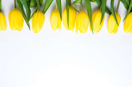 Yellow tulips on white background. The concept of spring or womens day