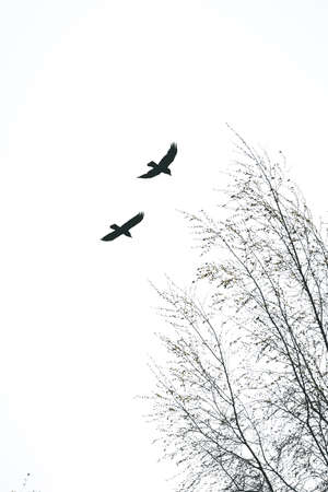 Two black crows in the spring sky