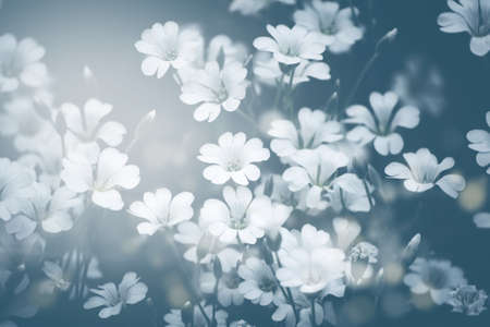 White gypsophila flowers on a dark green background of garden Фото со стока