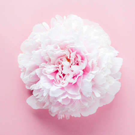 Flower of pink peony on pink background