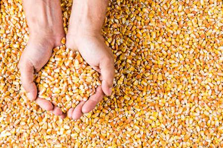 Corn grains in mens hands. Top view