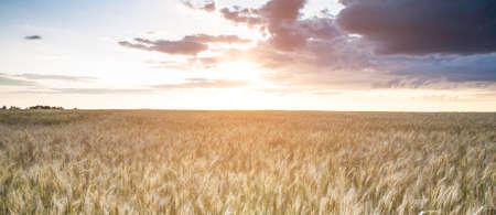 Wheat field in sunlight. Harvest or farm concept Stockfoto