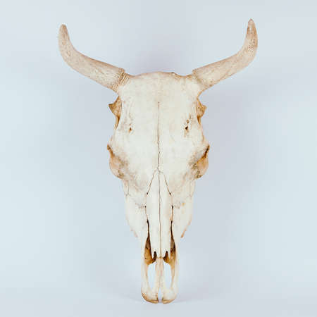 White cow skull isolated on white background Imagens