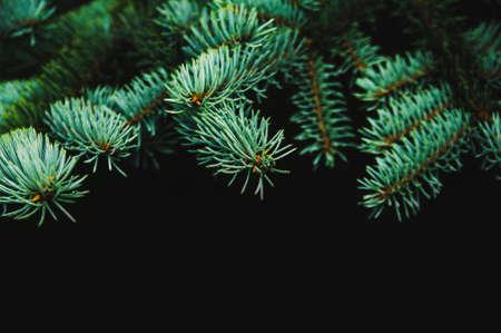 Spruce branches on a dark background Stockfoto