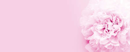 Flower of pink peony on pink background. Copy space for text or design Banco de Imagens