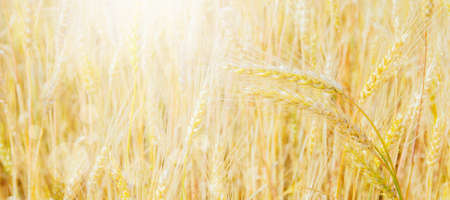 Wheat field in sunlight. Harvest or farm concept Banco de Imagens