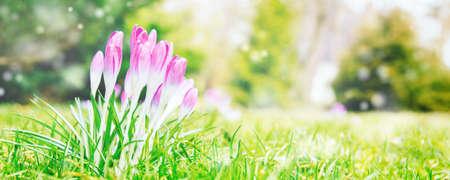 Blue crocuses on a green lawn. The concept of spring garden