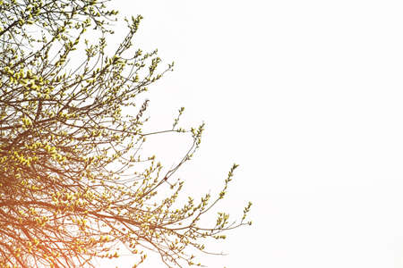 Branches of a flowering willow on a light background Banco de Imagens