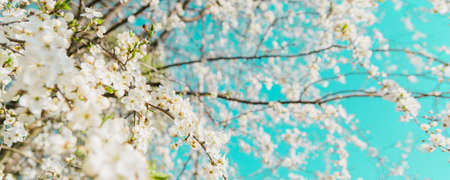 Branches of cherry blossoms. Light vintage cross-processing and panoramic frame. Springtime concept