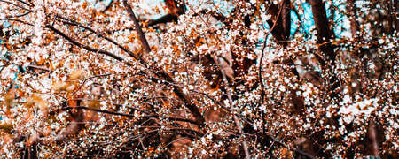 Branches of cherry blossoms on light background