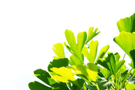 Leaves of the Ginkgo tree isolated on white background 免版税图像