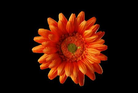 orange  flower  on  black Stock Photo
