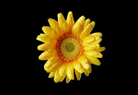 yelow  flower  on  black