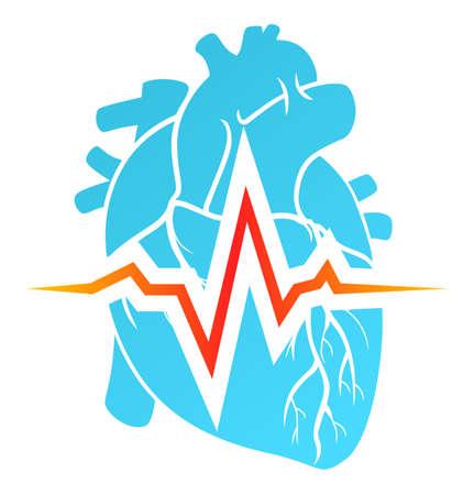 Anatomical heart and cardiogram