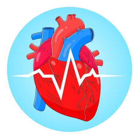Anatomical heart cardiogram