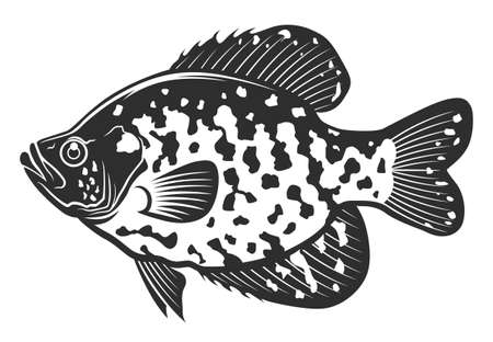Black crappie fish. Freshwater fish isolated on white background. Monochrome illustration.