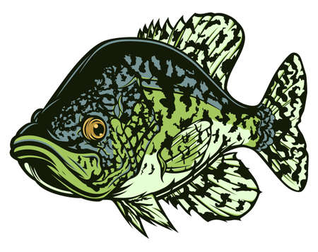 Drawing black crappie fish. Freshwater fish