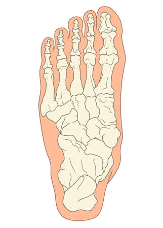 Foot bone structure. Medical vector illustration. Ilustracja