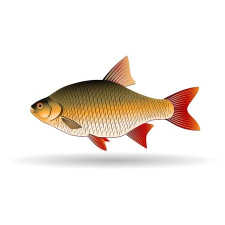 ide: Rudd. Freshwater fish of carp family. Realistic illustration. Vector Image