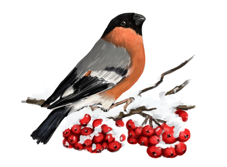 Bullfinch sitting on snowcovered branch of mountain ash. Winter nature. White background Stock Photo