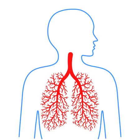 Lungs and bronchi, human respiratory system. Medicine and health. Vector illustrations.