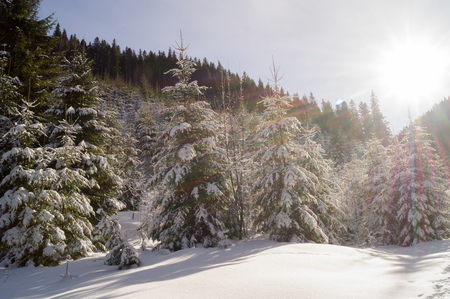 Winter adventures. Snowy forest. Carpathians. Ukraine.