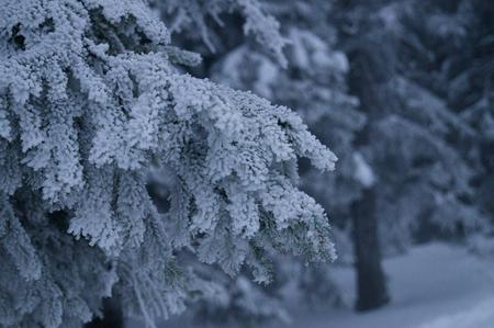 Winter adventures. Snowy forest. Carpathians. Ukraine.