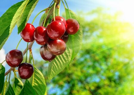 cherry tree: Red and sweet cherries on a branch just before harvest in early summer  Stock Photo