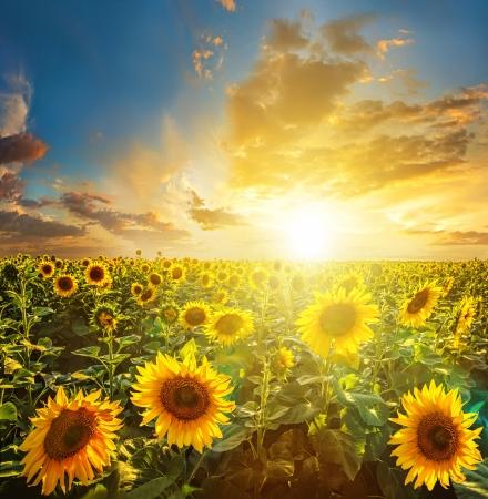 girasol: Paisaje de verano: puesta del sol sobre campo de girasoles belleza Foto de archivo