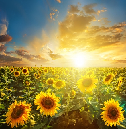 sunflowers field: Summer landscape: beauty sunset over sunflowers field Stock Photo