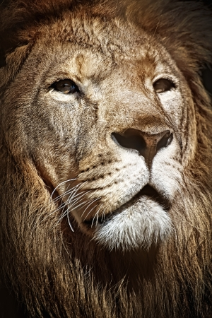 muzzle of a lion photo
