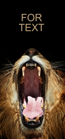 wide open: open wide lioness mouth  Stock Photo