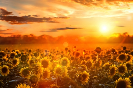 Summer landscape: beauty sunset over sunflowers field Stock Photo