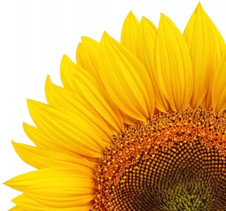 semillas de girasol: Girasol amarillo aislado Foto de archivo