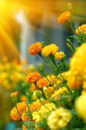 tagetes: Beautiful Marigolds (tagetes)
