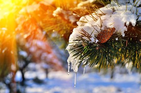 pino: Rama de pino en la nieve. La puesta del sol de invierno en el bosque. Foto de archivo