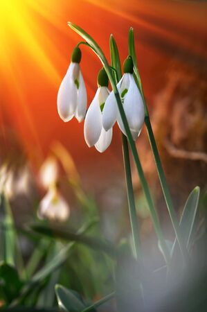 winter thaw: Fresh snowdrop on green background. Natural composition