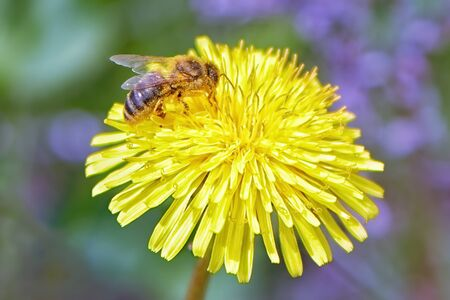 Bee collects yellow pollen on a dandelion