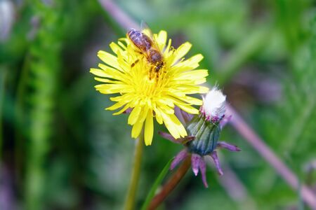 The bee collects honey on a yellow dandelion