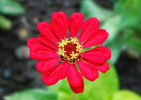 Beautiful red flower with yellow stamens depicted close-up