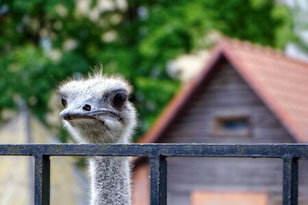 The ostrich looks out from behind the fence